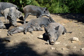 Wild boar in forest — Photo