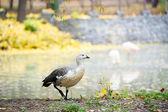 Canada Goose — Foto Stock