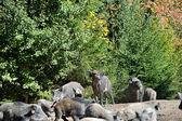 Wilde zwijnen in bos — Stockfoto