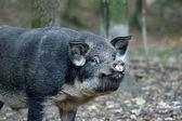 Wild boar in forest — Foto Stock