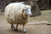 Sheep — Foto Stock