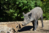 Wild boar in forest — Stock Photo