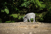 Wild boar in forest — Stockfoto