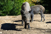 Wild boar in forest — Stock fotografie