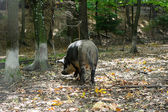 Wild boar in forest — Foto Stock