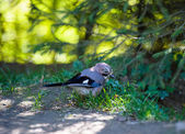 Blue Jay in forest — Stock Photo