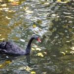 Beautiful young black swan in lake — Stock Photo