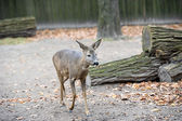 Little western roe deer — 图库照片
