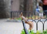 赤リス — ストック写真