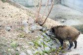 野生のイノシシ — ストック写真