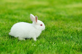 Funny baby white rabbit in grass — Stock Photo