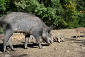 Wild boar in forest — Stock Photo