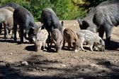 Wildschweine im wald — Stockfoto
