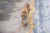 Amur Tigers — Stock Photo