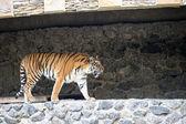 Tigres de l'amour — Photo