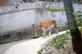 Amur-tiger — Stockfoto