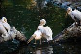 White pelican reflecting in water — Stockfoto