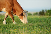 Cow is grazing in the mountains — Stock Photo