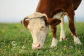 Cow is grazing in the mountains — Stockfoto