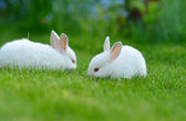 Funny baby white rabbits in grass — Stock Photo