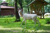 Deer in paddock — Stock Photo