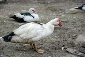 Muscovy Duck in the farm — Stock Photo