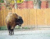 Velký muž Bison — Stock fotografie