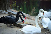 Beautiful young black and white swan — Stock Photo