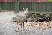 A little western roe deer — Stock Photo