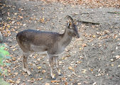 A little western roe deer — Foto de Stock