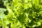 Green salad in a garden — Stock Photo