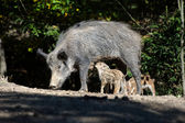 Wild boar in forest — ストック写真