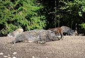 Javali selvagem na floresta — Foto Stock