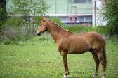 Grappige paard grazen in veld — Stockfoto
