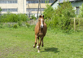 Beautiful free chestnut horse trotting at the field — Stock Photo
