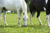 Funny horse grazing in field — Stock Photo