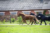 Cavalos no campo — Fotografia Stock