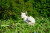 Gracioso bebé blanco de cabra sobre la verde hierba — Foto de Stock