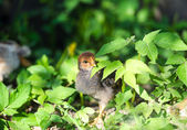 Little chicken on the grass — Stock Photo