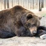 Brown bear — Stock Photo #46773547