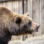 Brown bear — Stock Photo #46773553