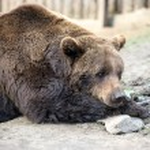 Brown bear — Stock Photo #46773555