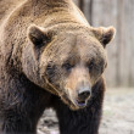 Brown bear — Stock Photo #46773557