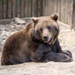Brown bear — Stock Photo #46775981