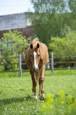 Horse in meadow — Stock Photo