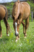 Horses in meadow — Photo