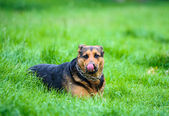 Dog on grass — Stock Photo