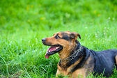 Dog on grass — Stock Photo