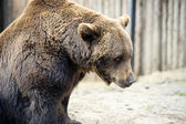 Brown bear — Foto de Stock