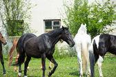 Horses in meadow — Stock Photo